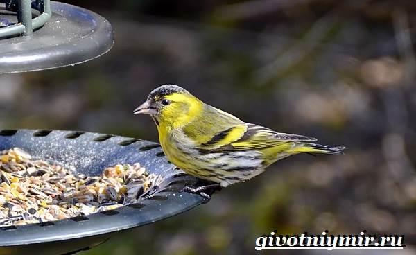 Чиж-птица-Образ-жизни-и-среда-обитания-птицы-чиж-7