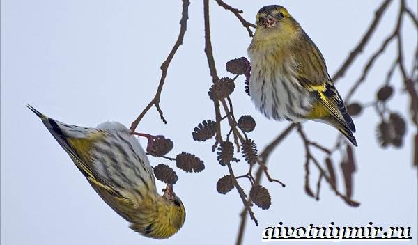 Чиж-птица-Образ-жизни-и-среда-обитания-птицы-чиж-8