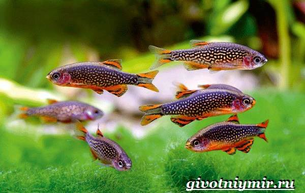 Данио-рыбки-Описание-особенности-уход-и-цена-рыбки-данио-2