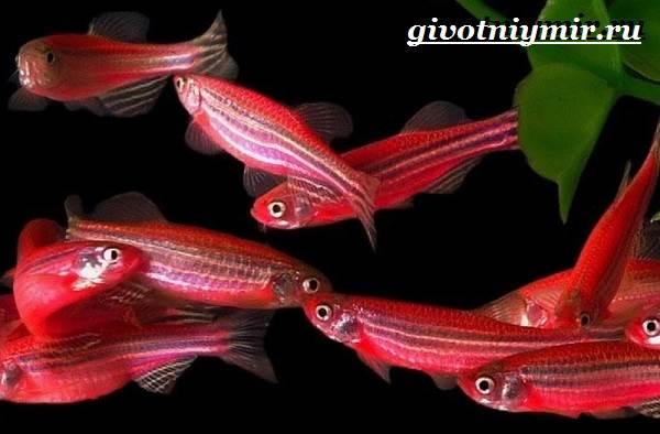 Данио-рыбки-Описание-особенности-уход-и-цена-рыбки-данио-4