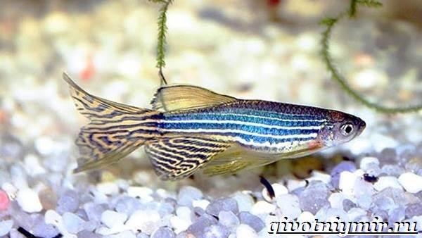 Данио-рыбки-Описание-особенности-уход-и-цена-рыбки-данио-5