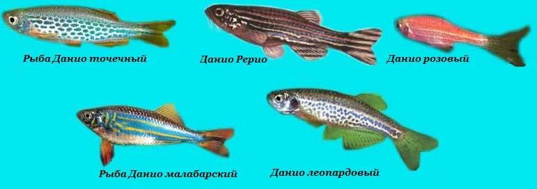 Данио-рыбки-Описание-особенности-уход-и-цена-рыбки-данио-7