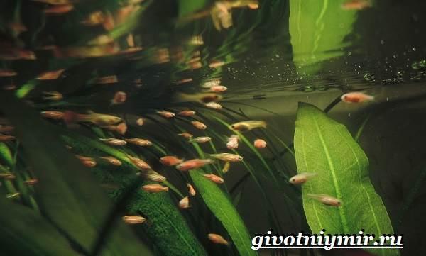 Данио-рыбки-Описание-особенности-уход-и-цена-рыбки-данио-8