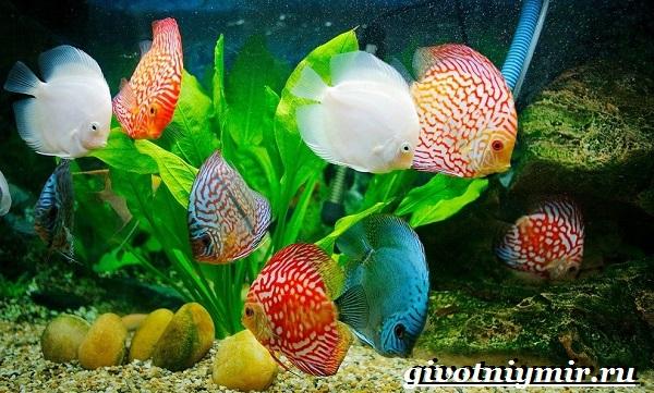 Дискус-рыба-Образ-жизни-и-среда-обитания-рыбы-дискус-1
