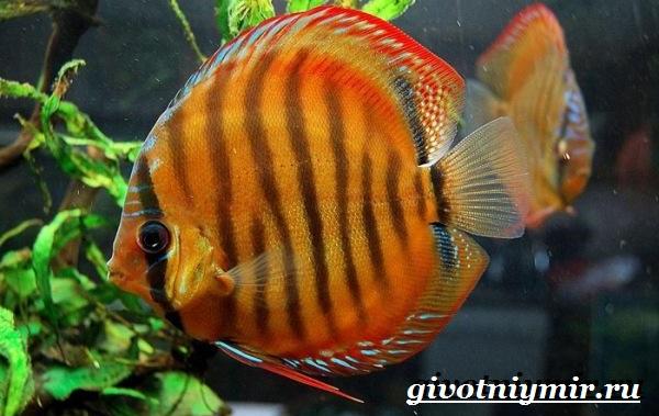 Дискус-рыба-Образ-жизни-и-среда-обитания-рыбы-дискус-2