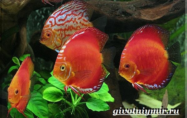Дискус-рыба-Образ-жизни-и-среда-обитания-рыбы-дискус-3