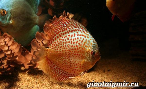 Дискус-рыба-Образ-жизни-и-среда-обитания-рыбы-дискус-4