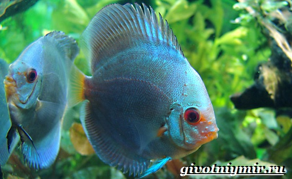 Дискус-рыба-Образ-жизни-и-среда-обитания-рыбы-дискус-5