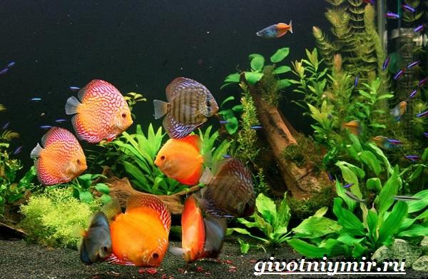 Дискус-рыба-Образ-жизни-и-среда-обитания-рыбы-дискус-6