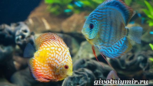 Дискус-рыба-Образ-жизни-и-среда-обитания-рыбы-дискус-7