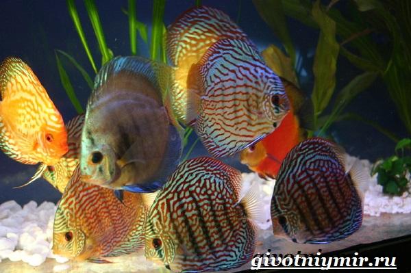 Дискус-рыба-Образ-жизни-и-среда-обитания-рыбы-дискус-8
