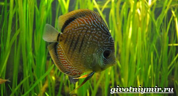 Дискус-рыба-Образ-жизни-и-среда-обитания-рыбы-дискус-9