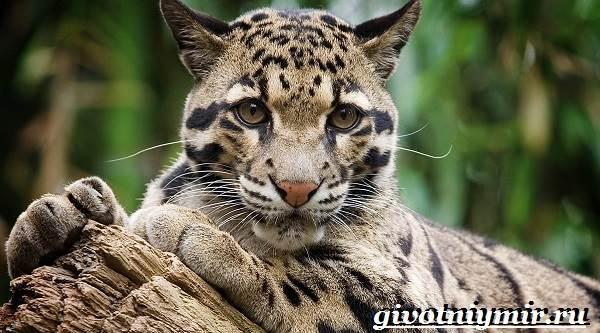 Дымчатый-леопард-Образ-жизни-и-среда-обитания-дымчатого-леопарда-1
