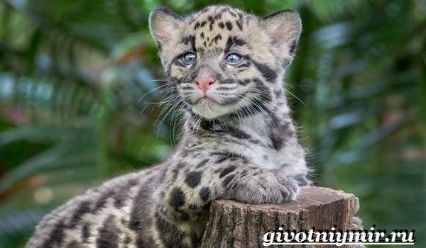 Дымчатый-леопард-Образ-жизни-и-среда-обитания-дымчатого-леопарда-11