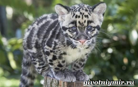 Дымчатый-леопард-Образ-жизни-и-среда-обитания-дымчатого-леопарда-13