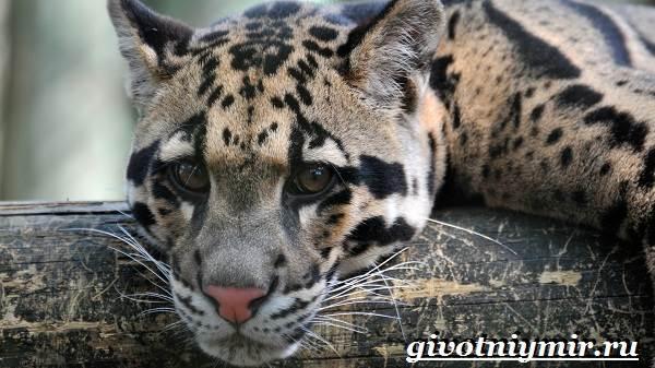 Дымчатый-леопард-Образ-жизни-и-среда-обитания-дымчатого-леопарда-2