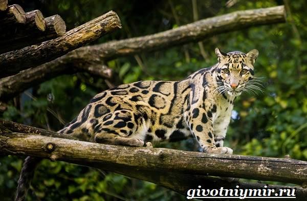Дымчатый-леопард-Образ-жизни-и-среда-обитания-дымчатого-леопарда-5