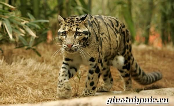 Дымчатый-леопард-Образ-жизни-и-среда-обитания-дымчатого-леопарда-6
