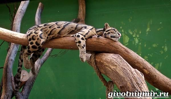 Дымчатый-леопард-Образ-жизни-и-среда-обитания-дымчатого-леопарда-8