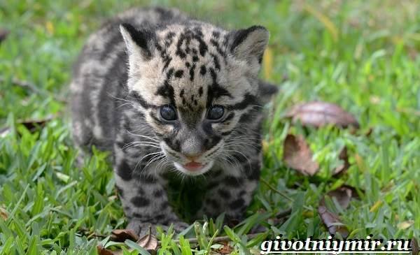 Дымчатый-леопард-Образ-жизни-и-среда-обитания-дымчатого-леопарда-9