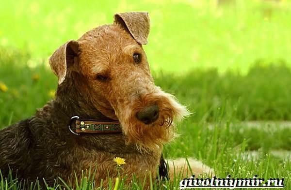 Эрдельтерьер-собака-Описание-особенности-уход-и-цена-эрдельтерьера-1