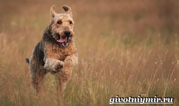 Эрдельтерьер-собака-Описание-особенности-уход-и-цена-эрдельтерьера-2