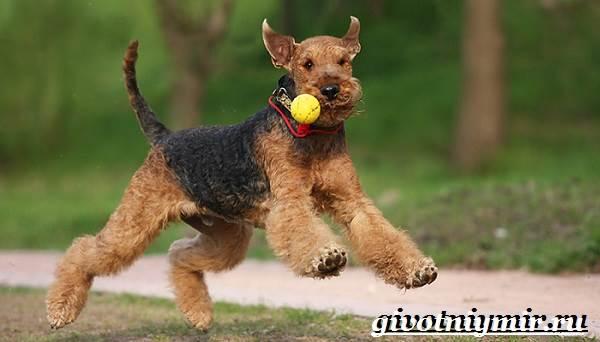 Эрдельтерьер-собака-Описание-особенности-уход-и-цена-эрдельтерьера-3