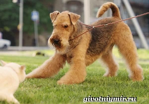 Эрдельтерьер-собака-Описание-особенности-уход-и-цена-эрдельтерьера-4