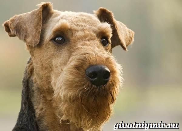 Эрдельтерьер-собака-Описание-особенности-уход-и-цена-эрдельтерьера-5