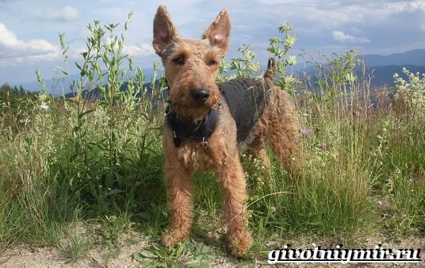 Эрдельтерьер-собака-Описание-особенности-уход-и-цена-эрдельтерьера-6