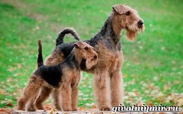 Эрдельтерьер-собака-Описание-особенности-уход-и-цена-эрдельтерьера-8