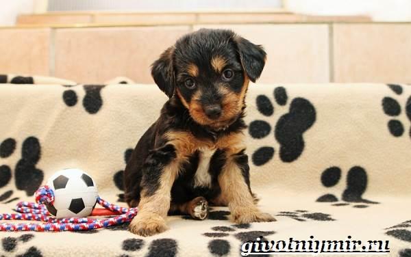 Эрдельтерьер-собака-Описание-особенности-уход-и-цена-эрдельтерьера-9
