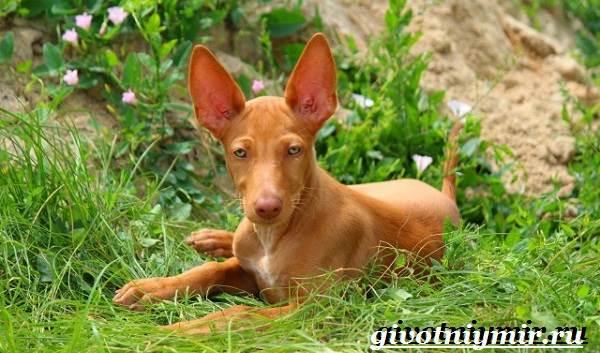 Фараонова-собака-Описание-особенности-уход-и-цена-фараоновой-собаки-2