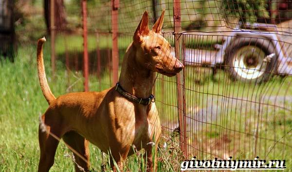 Фараонова-собака-Описание-особенности-уход-и-цена-фараоновой-собаки-3