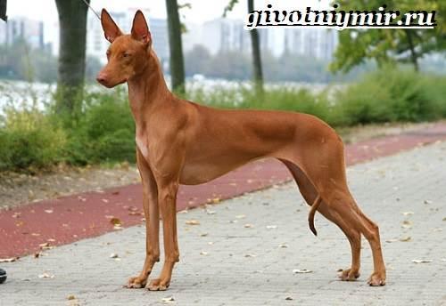 Фараонова-собака-Описание-особенности-уход-и-цена-фараоновой-собаки-6