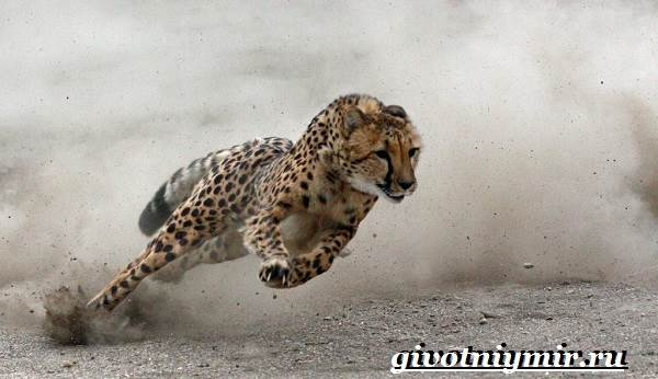 Гепард-животное-Образ-жизни-и-среда-обитания-гепарда-2