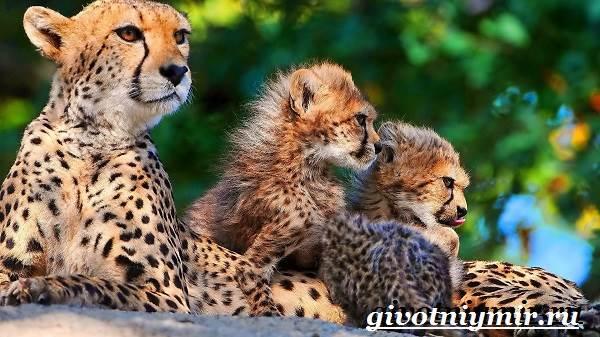 Гепард-животное-Образ-жизни-и-среда-обитания-гепарда-3