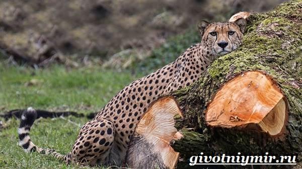 Гепард-животное-Образ-жизни-и-среда-обитания-гепарда-5