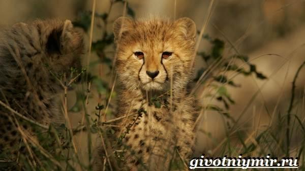 Гепард-животное-Образ-жизни-и-среда-обитания-гепарда-8