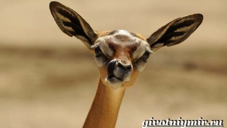 Геренук антилопа. Образ жизни и среда обитания антилопы геренук