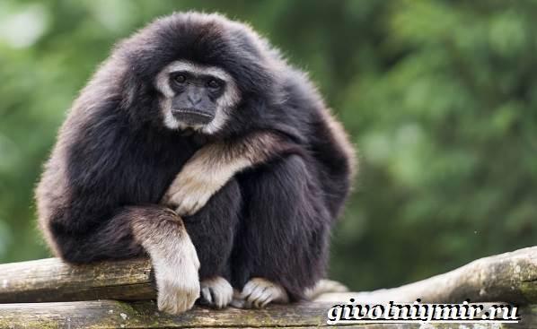 Гиббон-обезьяна-Образ-жизни-и-среда-обитания-гиббона-1