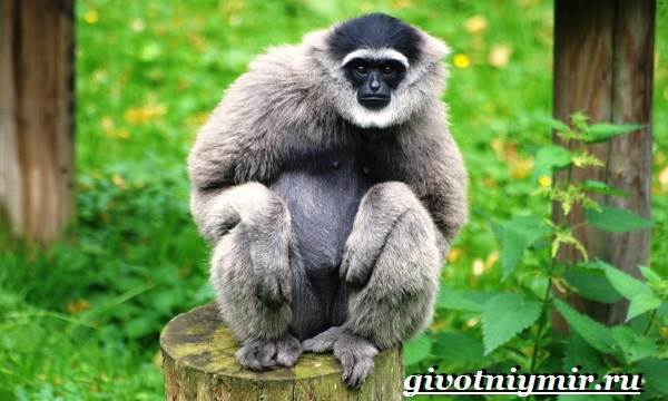 Гиббон-обезьяна-Образ-жизни-и-среда-обитания-гиббона-11
