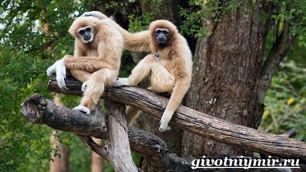 Гиббон-обезьяна-Образ-жизни-и-среда-обитания-гиббона-2