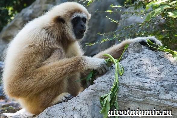 Гиббон-обезьяна-Образ-жизни-и-среда-обитания-гиббона-4