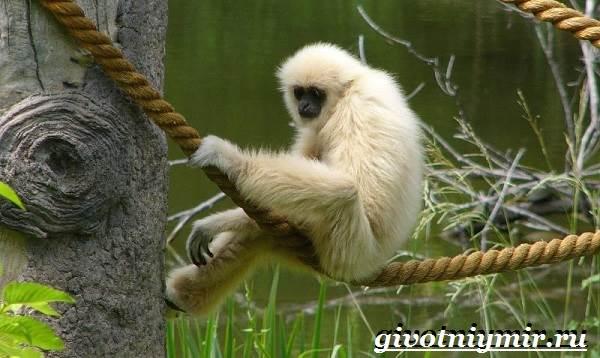 Гиббон-обезьяна-Образ-жизни-и-среда-обитания-гиббона-5