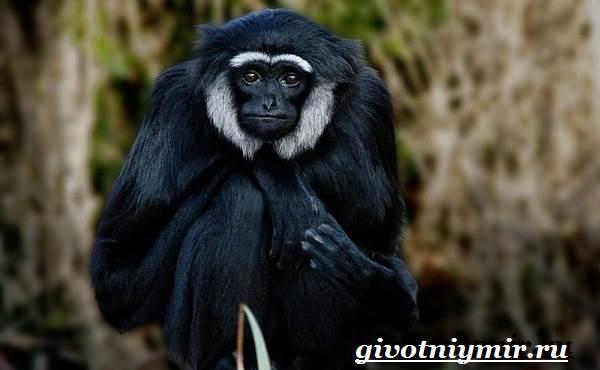 Гиббон-обезьяна-Образ-жизни-и-среда-обитания-гиббона-6