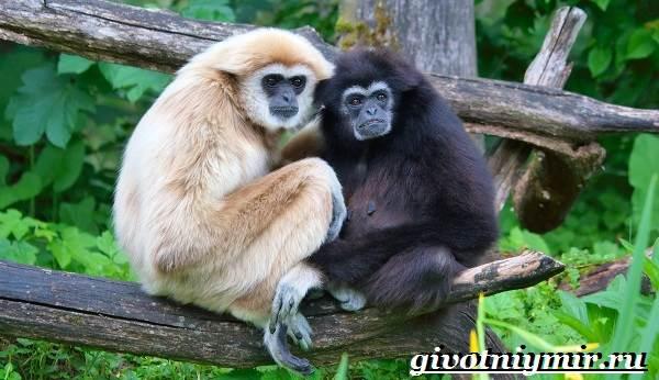 Гиббон-обезьяна-Образ-жизни-и-среда-обитания-гиббона-8