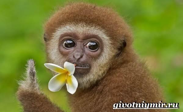 Гиббон-обезьяна-Образ-жизни-и-среда-обитания-гиббона-9