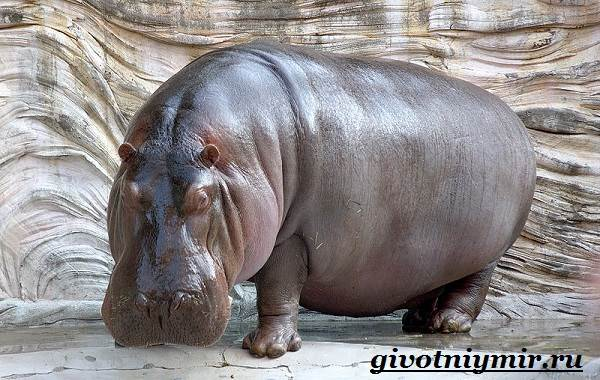 Гиппопотам-животное-Образ-жизни-и-среда-обитания-гиппопотама-1