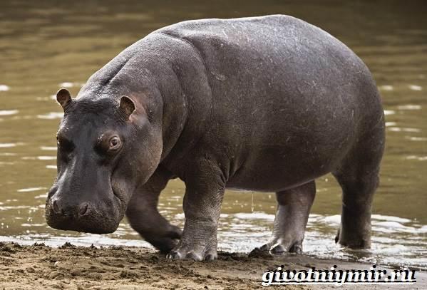 Гиппопотам-животное-Образ-жизни-и-среда-обитания-гиппопотама-2